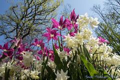 DN9A7660 (Josette Veltman) Tags: keukenhof lisse flowers dutch bloemen toeristisch canon nederland tulpen