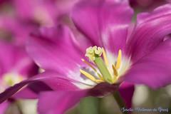 DN9A7629 (Josette Veltman) Tags: keukenhof lisse flowers dutch bloemen toeristisch canon nederland tulpen