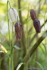 DN9A7545 (Josette Veltman) Tags: keukenhof lisse flowers dutch bloemen toeristisch canon nederland tulpen