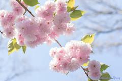 DN9A7506 (Josette Veltman) Tags: keukenhof lisse flowers dutch bloemen toeristisch canon nederland tulpen