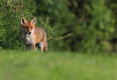 Dog fox (karlpriceps3) Tags: fox cub mammal canine wild vulpes
