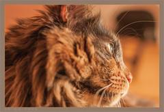 DSC04668 Easy Portrait (Olpo2vin) Tags: cat chat yeux eyes regard look félin feline olpo easy poils fourrure redessan 30129 animaldecompagnie vibrisses
