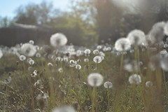 Almost Magical (slammerking) Tags: dandelion yard lawn weeds magical lighting depthoffield beauty low spring wish