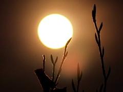 twigs in moonlight (oneofmanybills) Tags: twigs moon moonlight night olympus bush full glow silhouette