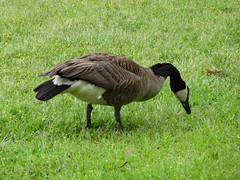 Goose Eating Breakfast. (dccradio) Tags: lumberton nc northcarolina robesoncounty outdoor outdoors outside nature natural wildlife goose geese canadagoose canadageese grass lawn yard ground greenery bird waterfowl animal april spring springtime wednesday morning goodmorning wednesdaymorning canon powershot elph 520hs