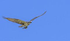 eastern osprey (Fat Burns ☮) Tags: easternosprey pandioncristatus bird australianbird fauna australianfauna wildlife australianwildlife raptor osprey nikond500 nikon20005000mmf56vr nudgeebeachmangroveboardwalk brisbane queensland australia