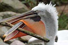 Dalmatian pelicans (K.Verhulst) Tags: kroeskoppelikaan dalmatianpelican pelican pelikaan birds vogels amersfoort dierenparkamersfoort
