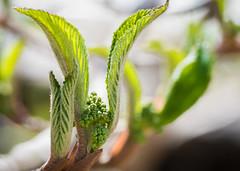 Viburum (hickamorehackamore) Tags: ct connecticut haddam hobblebush nwf viburnum viburnumlantanoidus backyard certified habitat wildlife
