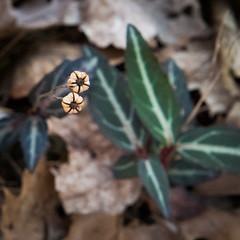 Wintergreen (hickamorehackamore) Tags: ct colchester connecticut nwf stripedwintergreen backyard certified habitat wildlife