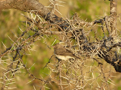 Unidentified small passerine bird in Masai Mara (Animal People Forum) Tags: sparrow bunting finch weaver acacia thorn branch tree masaimara maasaimara kenya africa passerine songbird bird birds