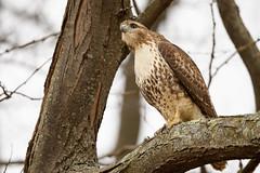 Look Out! (Eric Tischler) Tags: ohio hawk raptor bird