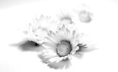 Day dream #ThroughHerLens (7 Blue Nights) Tags: flowers blackandwhite highkey monochrome mono macro bokeh soft throughherlens dof