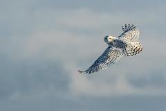 Snowy Owl with one last look back (dwb838) Tags: flight snowyowl sky
