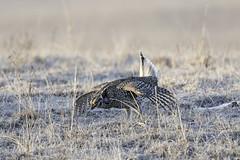 Sharp-tailed Grouse (aurospio) Tags: burwell nebraska tympanuchusphasianellus grouse lek sharptailedgrouse