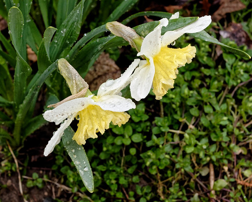 Raindrops on Daffies