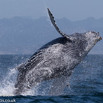 Humpback whale in Monterey, California thumbnail