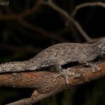 Southern Spiny-tailed Gecko (Strophurus intermedius) thumbnail