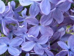 layers of lilacs (Cheryl Dunlop Molin) Tags: lilacs purpleflowers