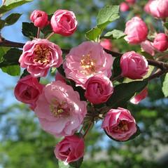 layers of petals (Cheryl Dunlop Molin) Tags: