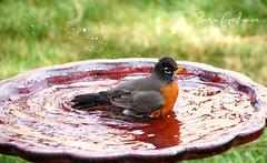 Bathing Robin (saragodwin9901) Tags: bird birds robins spring wild life backyard wildlife