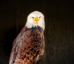 No pictures please (A.K. 90) Tags: eagle adler look animal tier bird vogel wildlife sonyalpha6300 e18135mmf3556oss