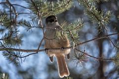 Finnland 2019 (Stefan Giese) Tags: nikon d750 finnland finland oulanka nationalpark 28300mm afs28300mmf3556 vogel bid siberianjay unglückshäher animal braun makro closeup macro