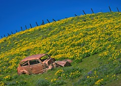 Columbia Hills Balsamroot Car 4381 A (jim.choate59) Tags: jchoate on1pics balsamroot lupine springtime flowers wildflowers field fence columbiahillsstatepark washington jalopy oldcar junkcar rust d610 columbiagorge klickitatcounty columbiarivergorge hff