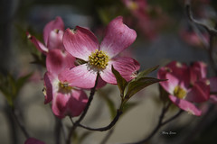 Pink Dogwood (mevans4272) Tags: pink dogwood nature flowers