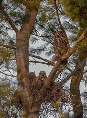 Great Horned Owl._040 (Estrada77) Tags: greathornedowl owl raptors birdsofprey distinguishedraptors perched wildlife spring2019 april2019 kanecounty illinois nature animals nikon nikond500200500mm outdoors