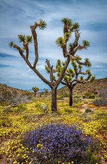 Nikon D850 Joshua Tree National Park Wildflowers Superbloom Fine Art! California National Park Wild Flowers! Elliot McGucken Fine Art & Nature Photography! Springtime Flowers Blooming! Nikon D850 & AF-S NIKKOR 28-300mm f/3.5-5.6G ED VR from Nikon! (45SURF Hero's Odyssey Mythology Landscapes & Godde) Tags: nikon d850 joshua tree national park wildflowers superbloom fine art california wild flowers elliot mcgucken nature photography springtime blooming afs nikkor 28300mm f3556g ed vr from