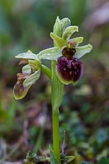 Early Spider Orchid (Ophrys sphegodes) (BiteYourBum.Com Photography) Tags: dawnandjim dawnjim biteyourbum biteyourbumcom copyright©2019biteyourbumcom copyright©biteyourbumcom allrightsreserved uk unitedkingdom gb greatbritain england canoneos7d canonefs60mmf28macrousm canonmacrotwinlitemt26exrt apple imac5k lightroom6 ipadair appleipadair camranger focusstacking manfrotto055cxpro3tripod manfrotto804rc2pantilthead loweproprorunner350aw sussex southdowns southdownsnationalpark castlehill castlehillnationalnaturereserve castlehillnnr nationalnaturereserve woodingdean brighton eastsussex orchid orchids earlyspider ophrys sphegodes earlyspiderorchid ophryssphegodes
