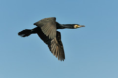 The Flying Cormorant... (Allan James Fisher) Tags: cormorant nature birds wildlife tokyo japan flight nikon