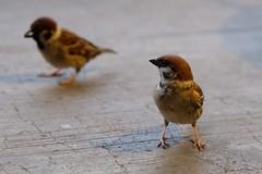 Eurasian tree sparrows (theq629) Tags: taiwan taipei bird animal eurasiantreesparrow libertysquare