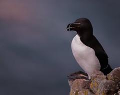 Razorbill-Alca torda (neil 36) Tags: razorbill alca torda summer plumage auks bempton nikon d7200 nikor 300mm yorkshire
