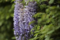 Glicine - Blooming (carlo612001) Tags: glicine wisteria primavera spring fioritura blossom blooming