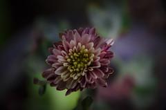 Macro flowers (Kalindu Kasun) Tags: nikon d5100 sigma 1770 284 macro