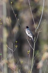 Kapturka (puls*) Tags: kapturka bird warble ptaki śpiew spring