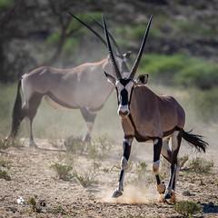 Oryx (petraherdlitschke) Tags: africa südafrika wildlife oryx animal naturephotography canon africanwildlife