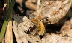8389 Bombylius major (jon. moore) Tags: denhamcountrypark buckinghamshire bombyliusmajor diptera darkedgedbeefly