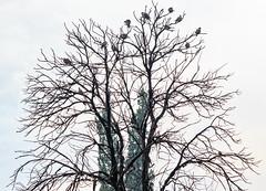 Dove Silhouettes (Johann (Still Me!)) Tags: dove tree deadtree overcast makemesmile johanndejager ef70300mmf456isusm canoneos7dmarkii