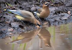 Cedar Waxwings (Jami Bollschweiler Photography) Tags: cedar waxwings getting drink utah bird photography wildlife