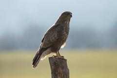 Buse (KRADiVER) Tags: color goldenhours line animalier animal birds rapace rapacious peak peakoftheday profil king
