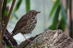 Song Thrush (hedgehoggarden1) Tags: songthrush birds wildlife rspb nature sonycybershot creature animal norfolk eastanglia uk norfolkwildlifetrust sony thrush