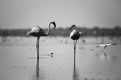 Flamingo Partners (Karthikeyan.chinna) Tags: karthikeyan chinna chinnathamby canon canon5d canon5dmarkiii flamingo birds bw mono monochrome reflection wild wildlife travel nature india pulicat sanctuary tamilnadu story black white tamron 150600 telephoto action water backwater