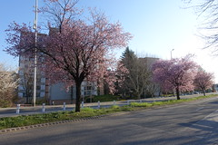 Cherry tree in bloom @ Annecy-le-Vieux (*_*) Tags: europe france hautesavoie 74 annecy annecylevieux 2019 march afternoon spring printemps sunny sunset savoie flower