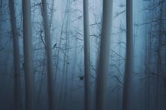 un frío repugnante (jotaaguilera) Tags: nikon d610 sigma2470mmf28exdg paisaje landscape mood moodiness morning niebla fog foggy mist bosque wood forest solitude soledad luz light azul blue outside nature arbol tree trees tranquility tranquilidad spain