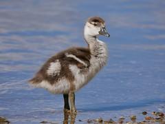 Egyptian goose gosling (PhotoLoonie) Tags: goose duck egyptiangoose gosling spring waterbird bird nature wildlife water