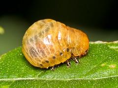 Käferlarve, Chrysomelidae (Eerika Schulz) Tags: käferlarve käfer larve beetle larva ecuador puyo eerika schulz chrysomelidae