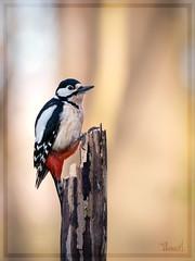 spotted woodpecker (Thomas Heuck) Tags: buntspecht woodpecker vogel bird fauna natur nature wald forest olympus em1markii greifswald