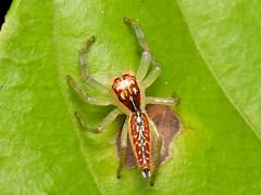 Spinne (Eerika Schulz) Tags: spinne spider ecuador puyo eerika schulz